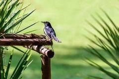 Oriental magpie-robin or Copsychus saularis, small passerine bird Stock Image