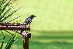 Oriental magpie-robin or Copsychus saularis, small passerine bird Royalty Free Stock Photo