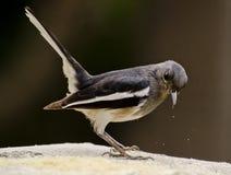 An oriental magpie robin feeding at a bird feeder Stock Photos