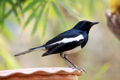 Oriental magpie robin. The oriental magpie-robin (Copsychus saularis) is a small passerine bird that was formerly classed as a member of the thrush family Royalty Free Stock Photography