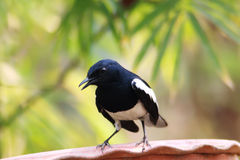 Oriental magpie robin. The oriental magpie-robin (Copsychus saularis) is a small passerine bird that was formerly classed as a member of the thrush family Royalty Free Stock Photos
