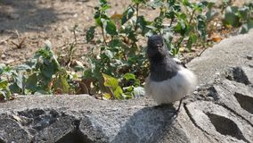 Oriental magpie robin expand its feather stock video