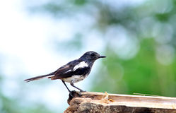 Oriental Magpie Robin (Female) Stock Photos