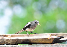 Oriental Magpie Robin (Female) Stock Image