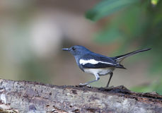 Oriental Magpie Robin. A female Oriental Magpie-Robin looking for food Royalty Free Stock Images