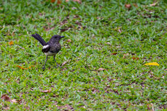 Oriental Magpie-Robin Stock Images