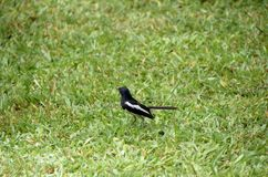 Oriental Magpie Robin. On the grass Royalty Free Stock Photos