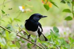 Oriental Magpie Robin Royalty Free Stock Photo