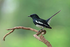 Oriental Magpie Robin(male) Royalty Free Stock Photography