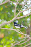 Oriental Magpie Robin (Male) bird Stock Photography