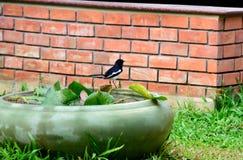 Oriental magpie - robin Royalty Free Stock Photo
