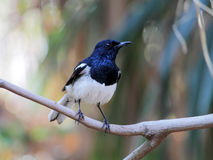 Oriental Magpie-Robin Male Royalty Free Stock Image