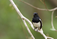 Oriental Magpie-Robin perched on a tree Royalty Free Stock Images