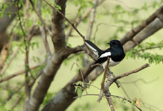 Oriental Magpie-Robin perched on a tree Stock Photos