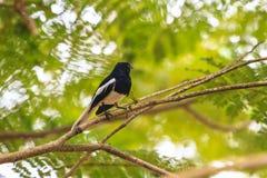 Oriental Magpie Robin Stock Photos
