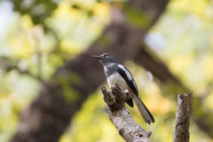 Oriental magpie robin Royalty Free Stock Image