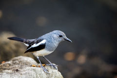 Oriental Magpie Robin perching on stone Royalty Free Stock Photo