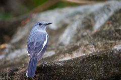 Oriental Magpie Robin perching on stone Royalty Free Stock Images