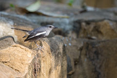 Oriental Magpie Robin perching on stone Stock Images