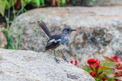 Oriental magpie-robin on a rock Stock Photography