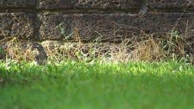 Oriental magpie-robin seeking food stock video