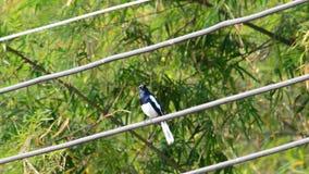 Oriental magpie robin is sings.
