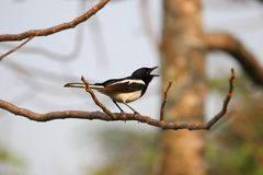 Oriental magpie-robin sings on a tree with sunshine in the evening nature background Royalty Free Stock Photography