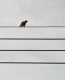 Oriental magpie robin stools on electric wire Stock Photos