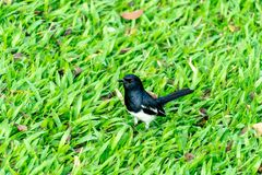 Oriental magpie robin stock images