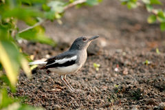 Oriental Magpie Robin. Walking in the park Stock Photo