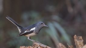 Oriental magpie robin on Wood Log Royalty Free Stock Image