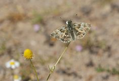 Oriental marbled Skipper. Butterfly on Lesvos stock photos