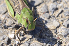 Oriental migratory locust Royalty Free Stock Images
