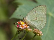 Oriental Mottled Emigrant Butterfly: Collecting nector from flowers. Oriental Mottled Emigrant butterfly sucking nector from flowers in natural blur background Stock Photo