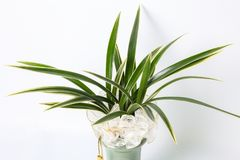 Oriental orchids in a flowerpot royalty free stock images