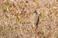 Oriental Paddyfield Pipit small passerine bird walking alone in Royalty Free Stock Photo