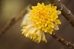 Flowers of Edgeworthia chrysantha Royalty Free Stock Images