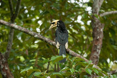 Oriental pie hornbill Royalty Free Stock Photo