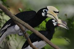 Oriental Pied Hornbill Royalty Free Stock Photography