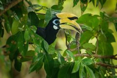 Oriental Pied-Hornbill - Anthracoceros albirostris large canopy-dwelling bird belonging to the Bucerotidae. Other common names are sunda pied hornbill & x28 royalty free stock photo
