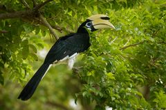 Oriental Pied-Hornbill - Anthracoceros albirostris large canopy-dwelling bird belonging to the Bucerotidae. Other common names are sunda pied hornbill &#x28 stock photos