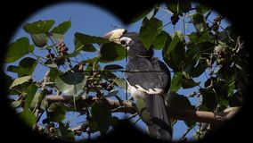 Oriental pied hornbill anthracoceros albirostris seen through binoculars. Bird watching at wildlife safari. Shot with a Sony RX10 IV fps 59,94 FHD stock footage