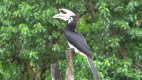 Oriental Pied Hornbill Anthracoceros albirostris Sitting on Tree. Endangered Endemic Borneo Bird. Oriental Pied Hornbill Anthracoceros albirostris Sitting on stock video