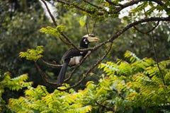 Oriental Pied Hornbill Royalty Free Stock Photos