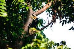 Oriental Pied Hornbill Stock Photography