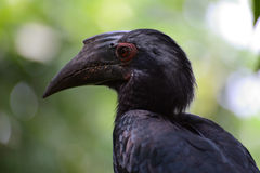 Oriental Pied Hornbill. Closeup portrait Royalty Free Stock Photo