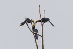 Oriental pied hornbill Royalty Free Stock Images
