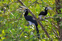 Oriental Pied Hornbill. In the jungle in Borneo Royalty Free Stock Photography