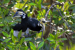 Oriental Pied Hornbill Stock Photography
