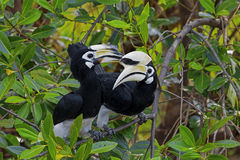 Oriental Pied Hornbill Stock Photos